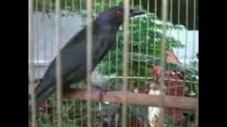 Burung Cucak Keling Gacor
