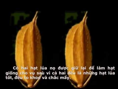 CHUYỆN VỀ HAI HẠT LÚA- video hạt lúa- cubimart.vn