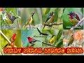 Suara Pikat Semua Burung Kecil  Mp3 - Mp4 Download