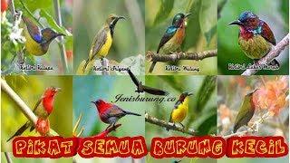 Suara pikat semua burung kecil
