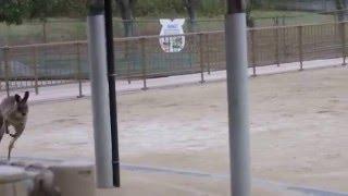 2015/11/29 ひびき動物ワールド オオカンガルー 大きな音に驚いてひたす...