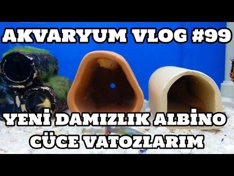 Akvaryum Vlog #99 (Yeni Damızlık Albino Cüce Vatozlarım)