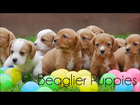 Beaglier puppies playing on a quad bike