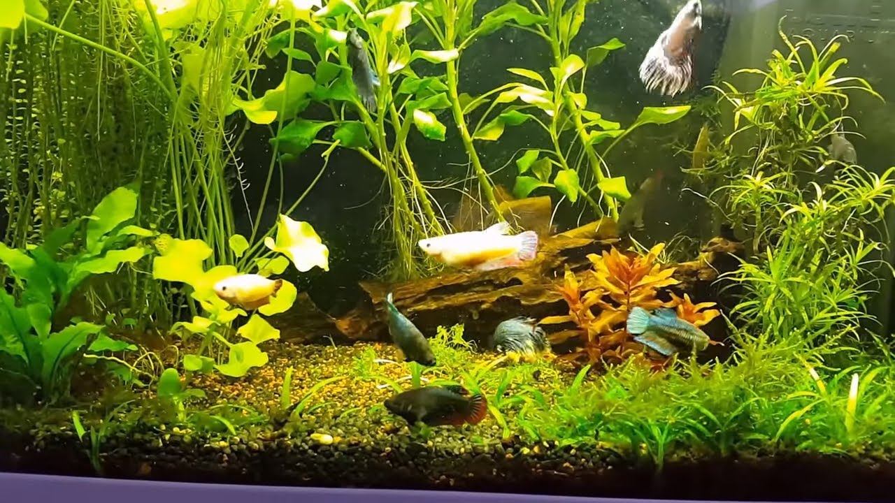 Betta Splendens as part of a community tank? - The Planted