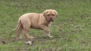 Dogue De Bordeaux Male For Sale