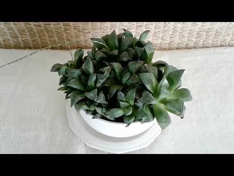 Haworthia Retusa Geraldii--For Sale in the Phoenix, Arizona Area