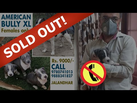 Amazing American Bully Puppies For Sale In India Pet Shop In