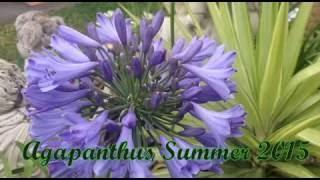 Agapanthus Summer 2015