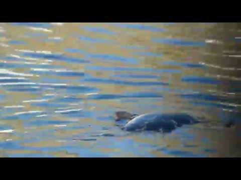 Seal floating in Burghead Harbour, Moray. Scotland