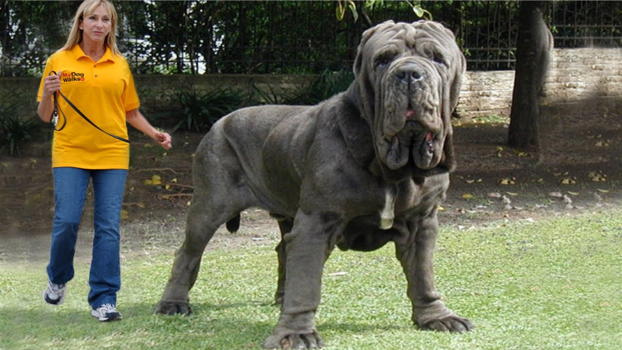 Top Biggest Dogs In The World YouTube - 10 of the worlds biggest pets
