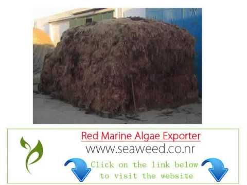 Costa Rica red seaweed algae importer Exporter wholesale suppliers