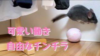 【チンチラ】可愛い動きする自由なチンチラ cute chin…