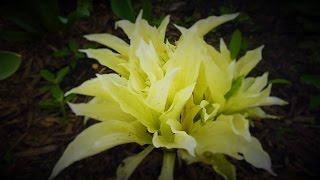 видео Растения для альпийской горки: правила выбора и оформления