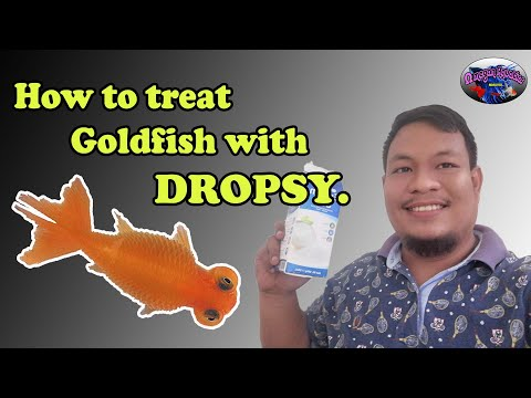 HOW TO TREAT GOLDFISH WITH DROPSY!
