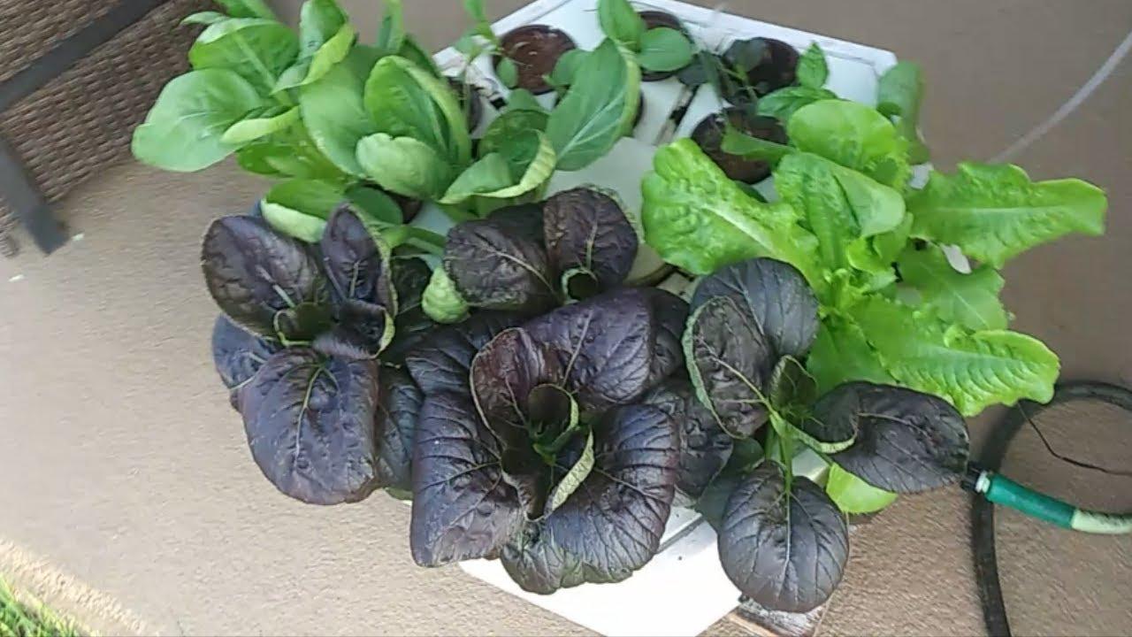 How to Grow Bok Choy in Less Than 30 Days (Aeroponics, Purple Lady Strain)