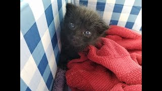 A Woman Found This Furball Crying In Her Backyard – But He Grew Into A Mighty Panther Cat thumbnail