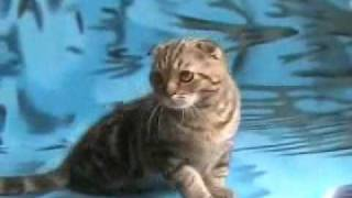 Феликс, вислоухий кот шоколадного мраморного окраса
