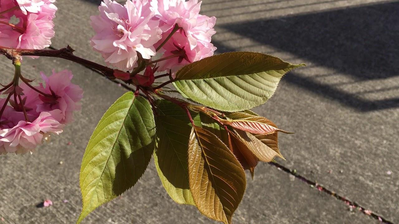 Flowering Cherry Tree Prunus Leaves April 2018 Youtube