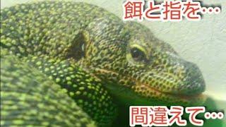 オオトカゲ #マングローブモニター #おミズ #爬虫類 今年で飼育10年目に...