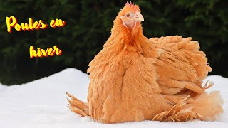 Les poules et l'hiver. Une fausse idées.