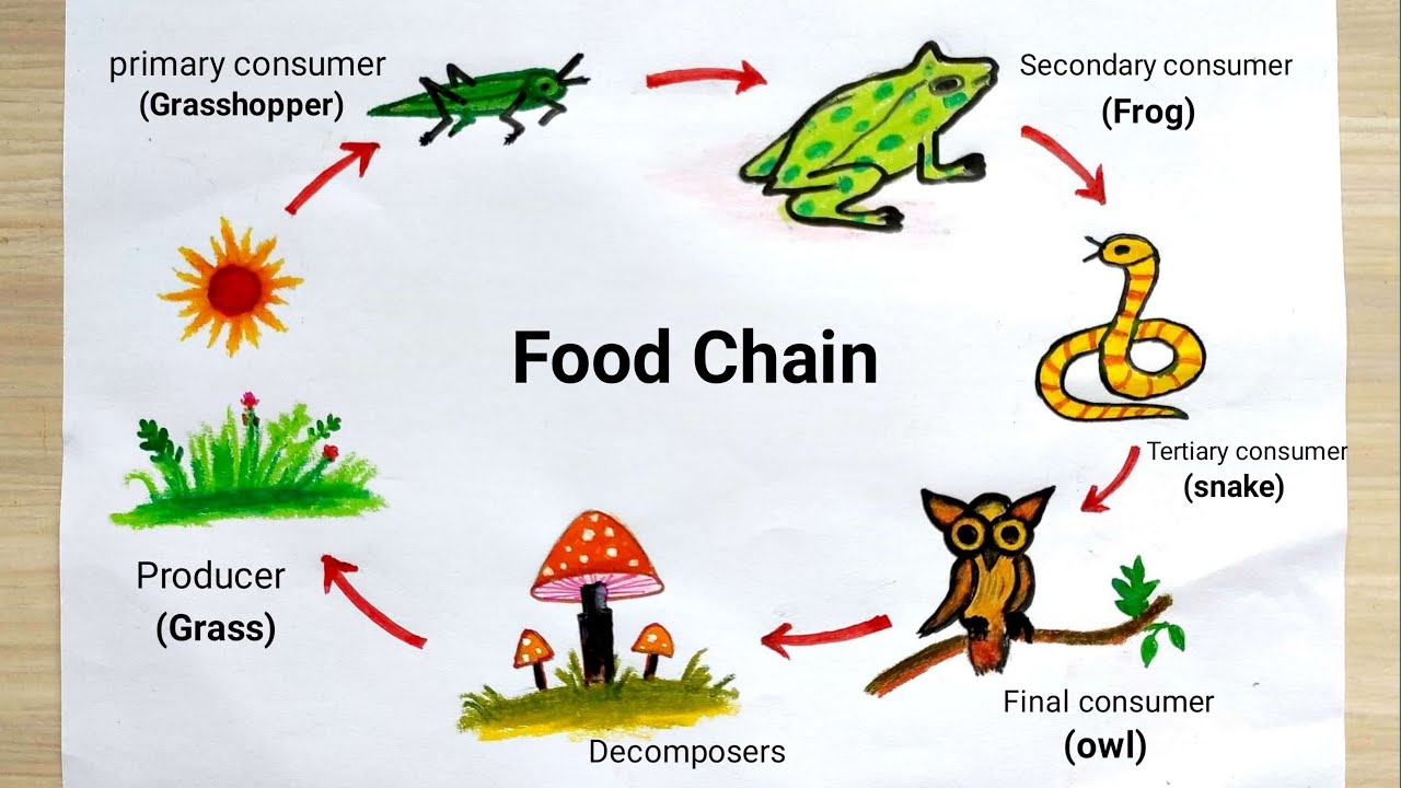 Food Chain Drawing Easy How To Draw Food Chain Diagram Youtube