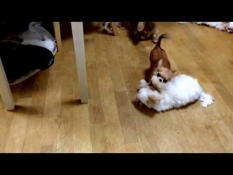 極小マルチーズと極小チワワ♪ これでも成犬です☆ かわいいDog