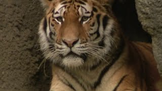Tiger Tests Positive For Coronavirus (covid 19)