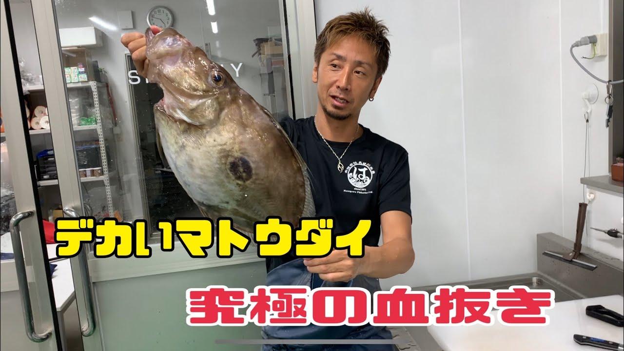 デカいマトウダイ 究極の血抜き編 vol.376