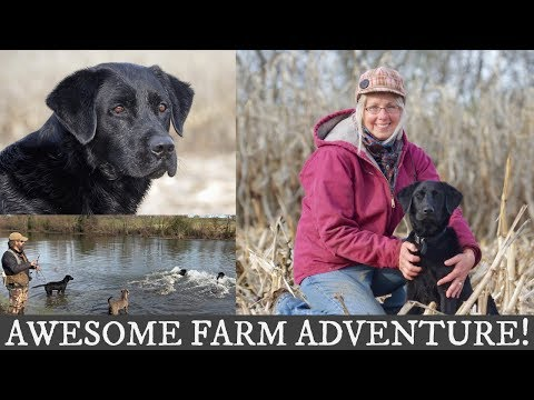 Labrador Retriever and English Springer Spaniel Training | Awesome Farm Adventure