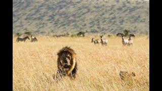 Большие кошки Кении 2 серия