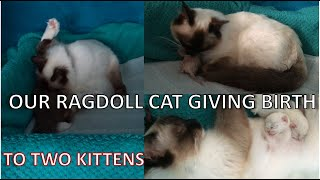 RAGDOLL CAT GIVING BIRTH TO TWO KITTENS + weighins   Claudia GG