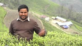 Pathivara Tea Estate, Panchthar Nepal