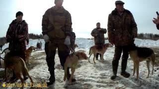 Выставка охотничьих собак в Ревде  Русские гончие