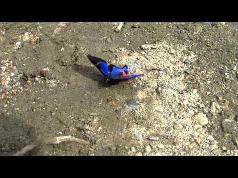 Rhetus periander, Periander Beautymark