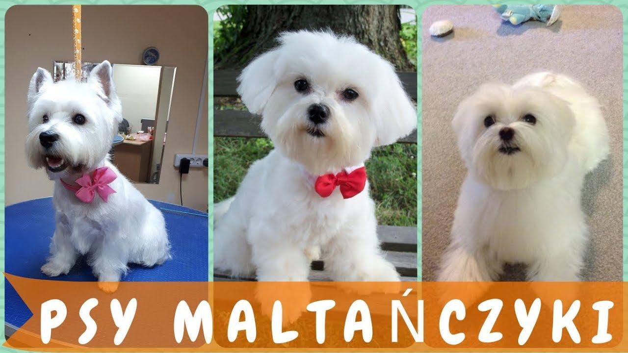 Top Fryzury Dla Psa Maltańczyka