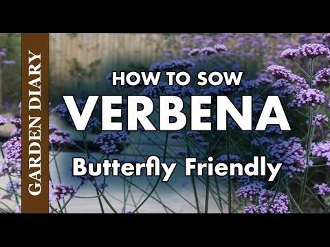 Sean's Allotment Garden 482: Growing Verbena - How To Sow Verbena