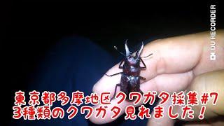 「東京都多摩地区クワガタ採集#7」3種類のクワガタが見れました! thumbnail