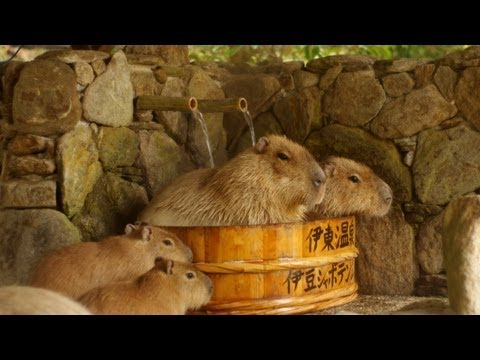 The Ace & TJ Show - Relaxing Scene as Capybaras Get Spa Treatment!