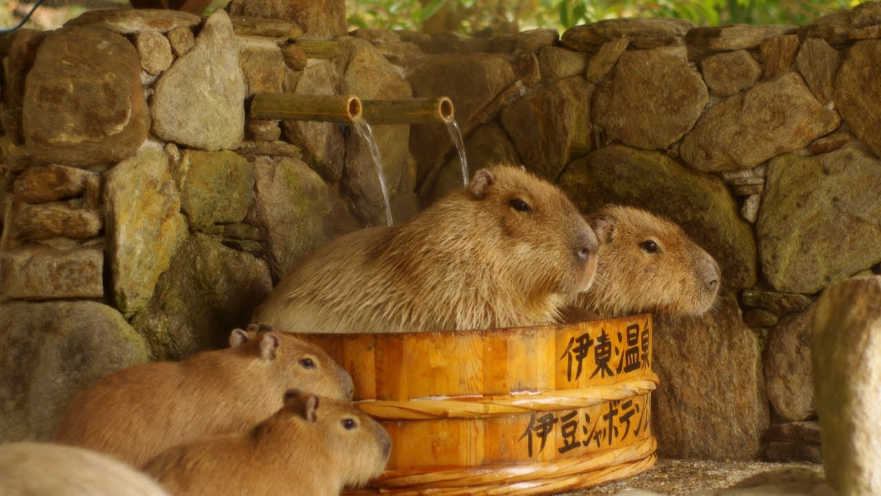 長崎バイオパーク カピバラたらいの湯 Capybara In Woody Washtub Youtube