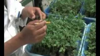 International Potato Center (CIP)/Inoculacion/evaluacion de clones/progenies/papa-virus PVX/PVY/PLRV
