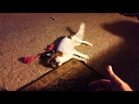 ANNIE the Cavalier King Charles Spaniel Fetches a toy, Plays dead, shakes, rollover!