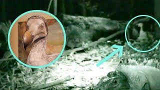 La trágica extinción del pájaro Dodo