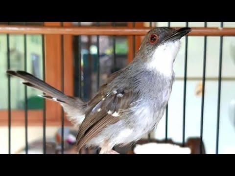 Suara Burung Ciblek Kristal Gacor Untuk Terapi Pikat Prenjak Putih Agar Cepat Belajar Bunyi Nembak Youtube