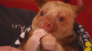 Валлаби спасла кенгуру, став его приёмной мамой (новости)