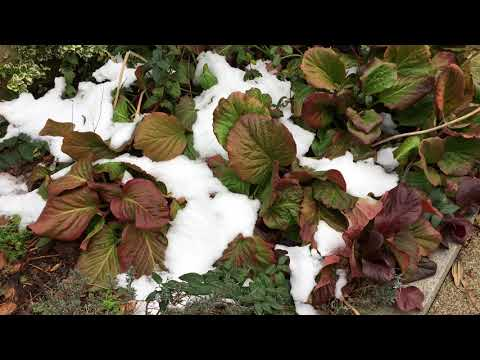 Elephant's ears (Bergenia) - plants in the snow - March 2018