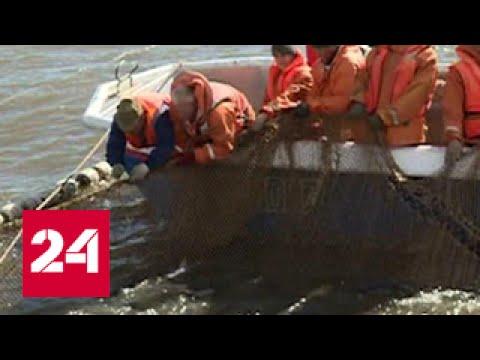 На Чукотке в рыболовных сетях кету теснит горбуша