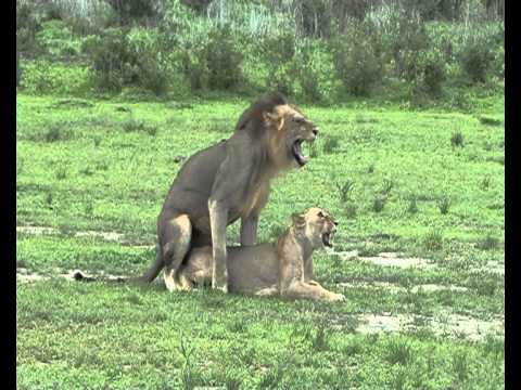 Lions mating In Selous Game Reserve - Tanzania