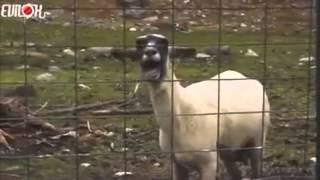 Zerator VS la chèvre