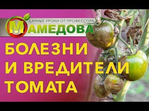 Болезни и вредители томата.