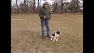Gundog Training: 12 Week Old  Springer Spaniel Puppy Intro To Cover And Clipped Wing Pigeons